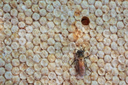 Bees in the hive and Honeycomb