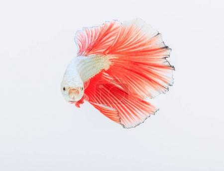 Bright fighting fish