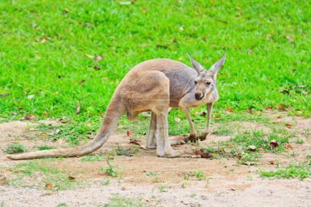 Brown kangaroo on green grass