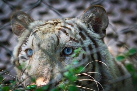 aggressive white tiger in zoo