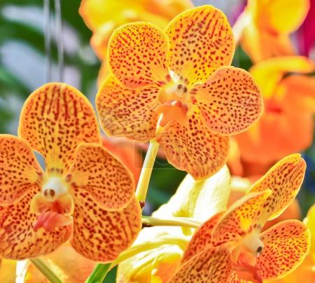 Orange orchid flowers