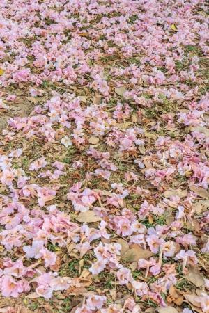 Tabebuia roses pink flowers