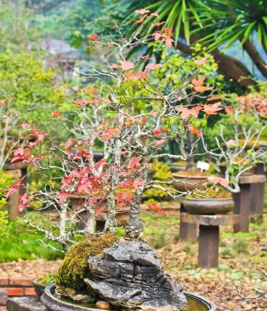 Bonsai trees maple