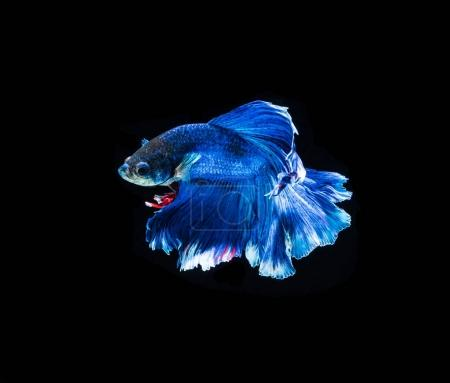 Bright fighting fish