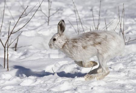 Snowshoe hare (Lepus americanus) with coat turning...