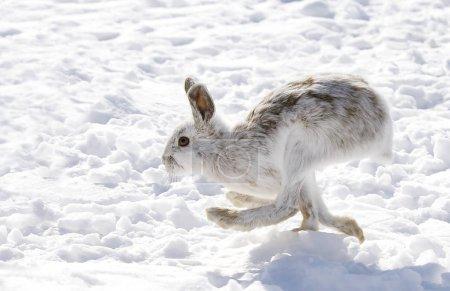 Snowshoe hare (Lepus americanus) running in the wi...