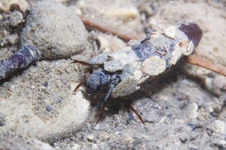 Kaddisfliege Larven unter Wasser in der gebauten Heimat. Trichoptera. (Caddisfly) genannt. Unterwasserfotografie. Lebensraum Fluss.