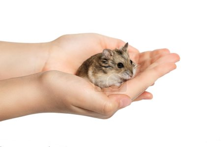 cute hamster sitting in the children's hands and looking into the camera