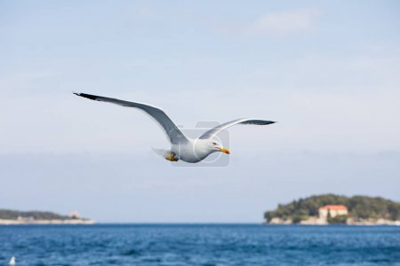 Seagull in flight on day