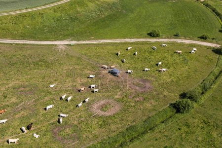 aerial view of the cows herd