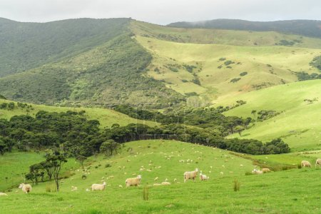 Foto de Sheep herd grazing on beautiful green field on cloudy day, New Zealand - Imagen libre de derechos