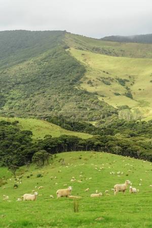Photo pour Sheep herd grazing on beautiful green hill, New Zealand - image libre de droit