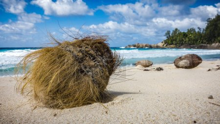 Photo for Closeup of a coconut in the white sand on a tropical beach on the Seychelles. - Royalty Free Image