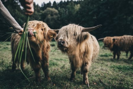 Photo for Brown hairy and cute highland cattle in wildlife in green nature looking straight at the camera eating - Royalty Free Image