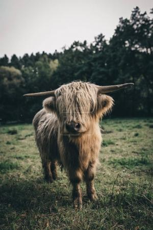 Photo for Brown hairy and cute highland cattle in wildlife in green nature looking straight at the camera - Royalty Free Image
