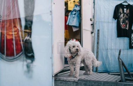 Photo pour Petit chien blanc mignon à la recherche de son propriétaire debout à proximité une caravane bleue avec des graffitis sur elle sur une foire - image libre de droit