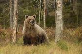 Brown Bear - Ursus arctos in typical nordic European forest, Finland, Europe