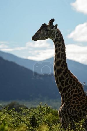 giraffe - giraffa camelopardalis, safari in kenia, afrika. Niedliches Mitglied der großen Fünf Afrikas.