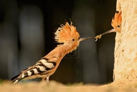 Eurasian Hoopoe - Upupa epops, beautiful orange bi...