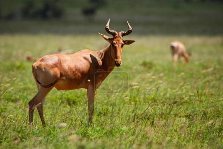 Hartebeest - Alcelaphus buselaphus, large antelope...