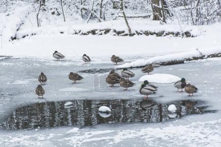 ducks on frozen pond in snowy park