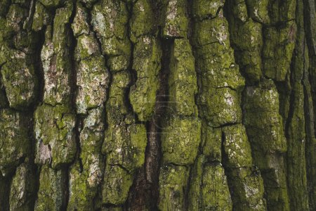 Photo for Cracked rough green tree bark background - Royalty Free Image