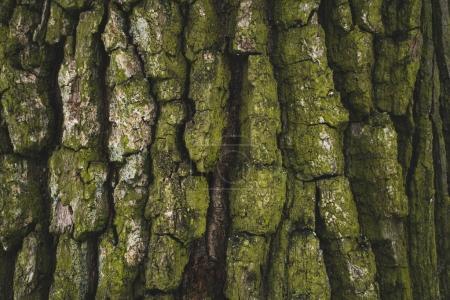 Photo pour Fissuré rugueux vert écorce de l'arbre fond - image libre de droit