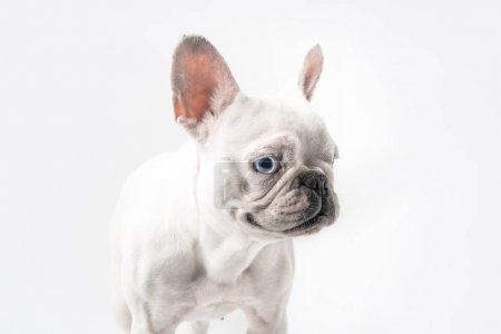 close-up view of cute purebred french bulldog standing isolated on white