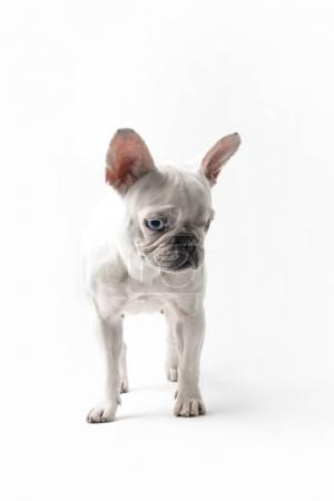 adorable purebred french bulldog looking down isolated on white