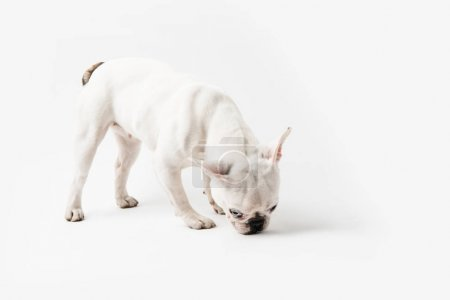 full length view of cute french bulldog dog isolated on white
