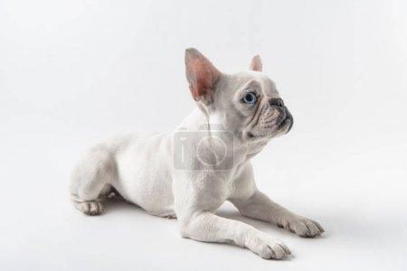cute french bulldog lying and looking away isolated on white