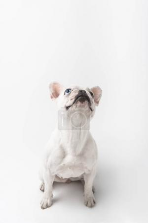 Photo for Adorable french bulldog puppy sitting and looking up isolated on white - Royalty Free Image