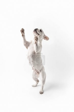 cute french bulldog dog standing on paws and looking up isolated on white