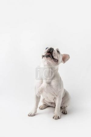 adorable french bulldog sitting and looking up isolated on white