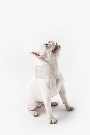adorable french bulldog puppy looking up isolated on white