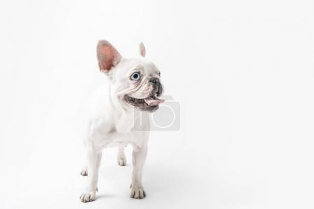 funny french bulldog dog showing tongue out and looking away isolated on white