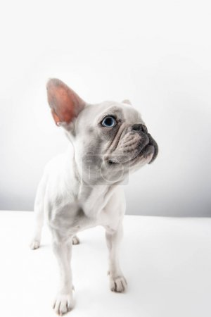 adorable french bulldog puppy looking away on white