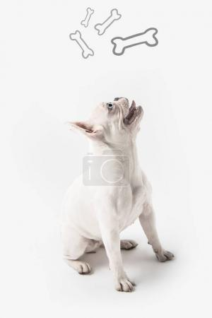 cute french bulldog looking up at bones isolated on white