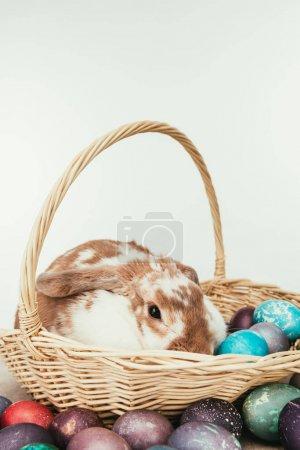 Photo pour Lapin domestique couché dans un panier de paille avec des œufs de Pâques peints isolés sur blanc - image libre de droit