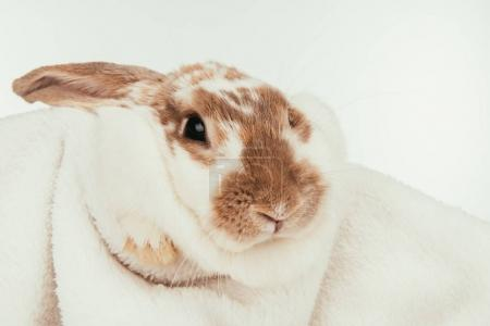 domestic bunny lying on blanket isolated on white