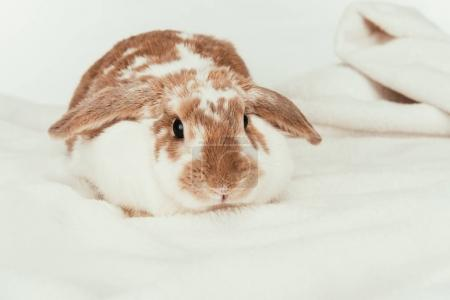 domestic rabbit lying on blanket isolated on white