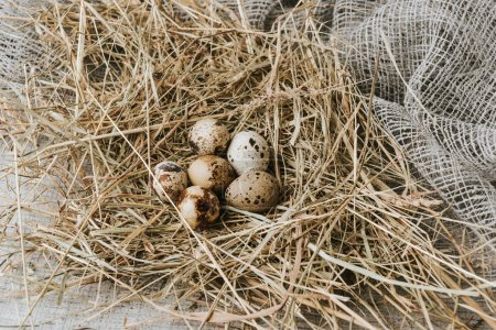 quail eggs laying on straw over sackcloth