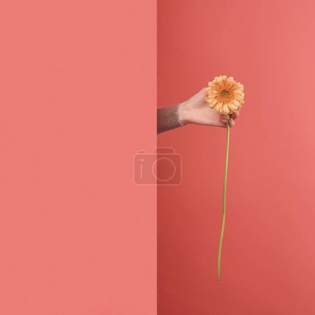 close-up shot of woman sticking out yellow gerbera flower behind wall on red