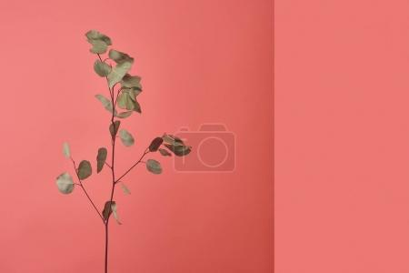 branch of beautiful eucalyptus plant on red