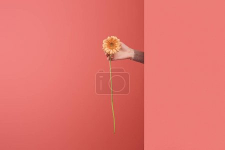 woman sticking out beautiful gerbera flower behind wall on red