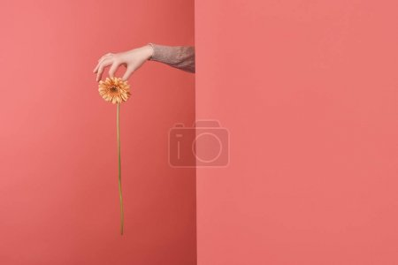 woman sticking out gerbera flower behind wall on red