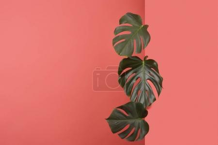 beautiful monstera leaves sticking out behind corner on red