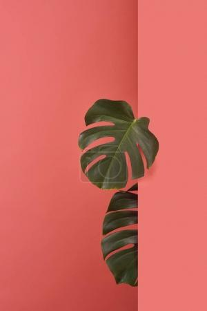 monstera leaves sticking out behind corner on red