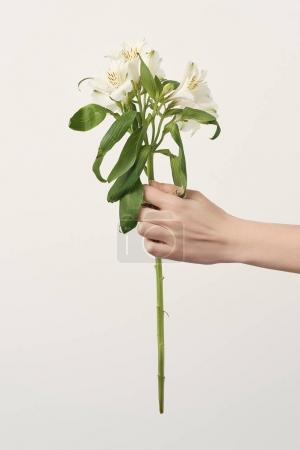 Photo for Cropped shot of woman holding alstroemeria flowers isolated on white - Royalty Free Image