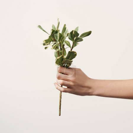 Photo for Cropped shot of woman holding green branch isolated on white - Royalty Free Image